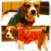 Meus beagles